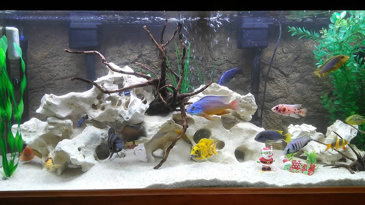 75 gallon show tank with texas holey rock youtube for African cichlid rock decoration