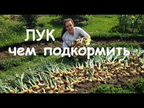 Лучшая подкормка для лука. Чем подкормить лук весной и летом чтобы был крупным. | подкормить | крупный | чеснок | весной | чтобы | июне | чем | лук | был | и