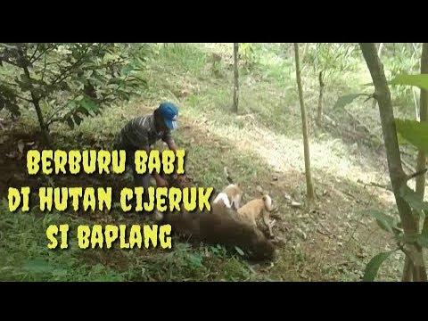 Berburu BaBi Hutan bobot 1 kwintal cijeruk jawa Tenggah