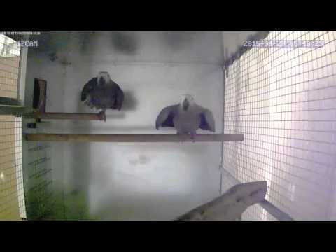 African Grey Mating Behaviour