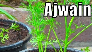 718# how to grow ajwain from seeds | first video on youtube with result (Urdu/hindi)