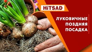 Сажайте луковичные сейчас 🌸  Посадка луковичных с Хитсад