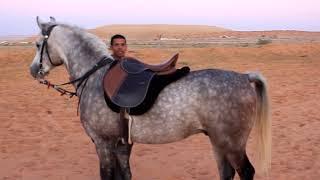 الحلقة الرابعة من عسف الحصان دينار