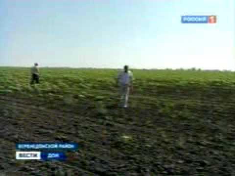 В Ростовской области уничтожают саранчу