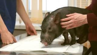 ВЦСТ МРТ диагностика животных