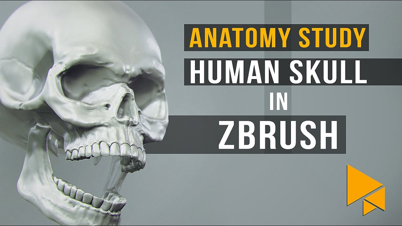 Anatomy Practice Sculpting A Human Skull In Zbrush Youtube