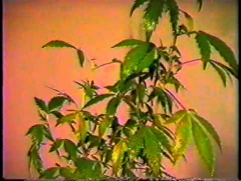 Sea Of Green  Volume 01  How To Flower Cannabis Clones