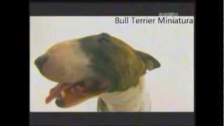Bull Terrier Miniatura   Abc Canino 101 Dogs EspaÑol