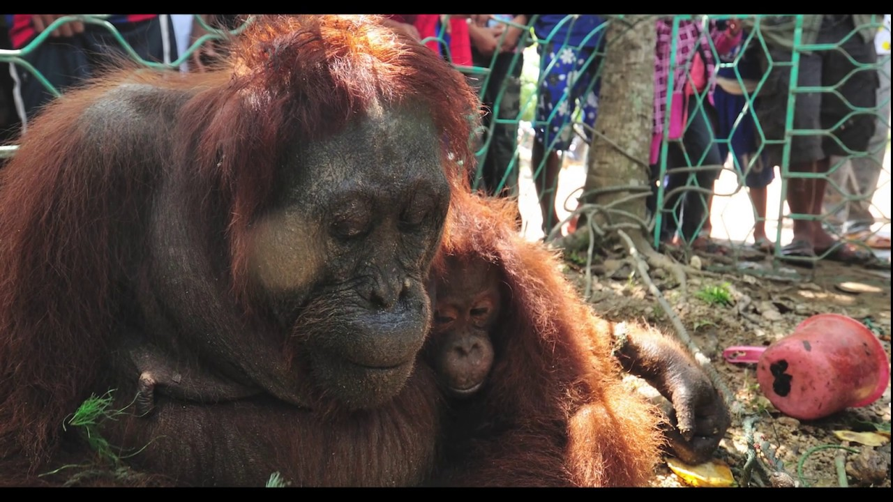 Peni, Secuil Kisah Bahagia di Tengah Perjuangan Hidup Orangutan
