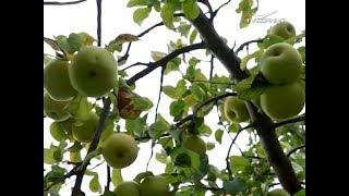 На Самарскую область сошла яблочная лавина. Удачные заметки