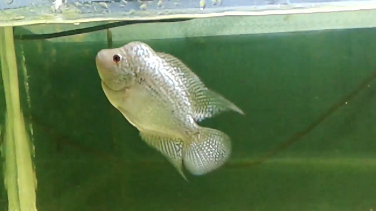 Young flowerhorn full of sparkling pearls and crosshead youtube young flowerhorn full of sparkling pearls and crosshead nvjuhfo Gallery