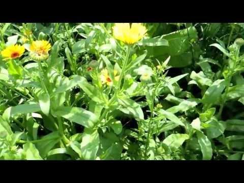 Календула: лечебные свойства и противопоказания, рецепты и