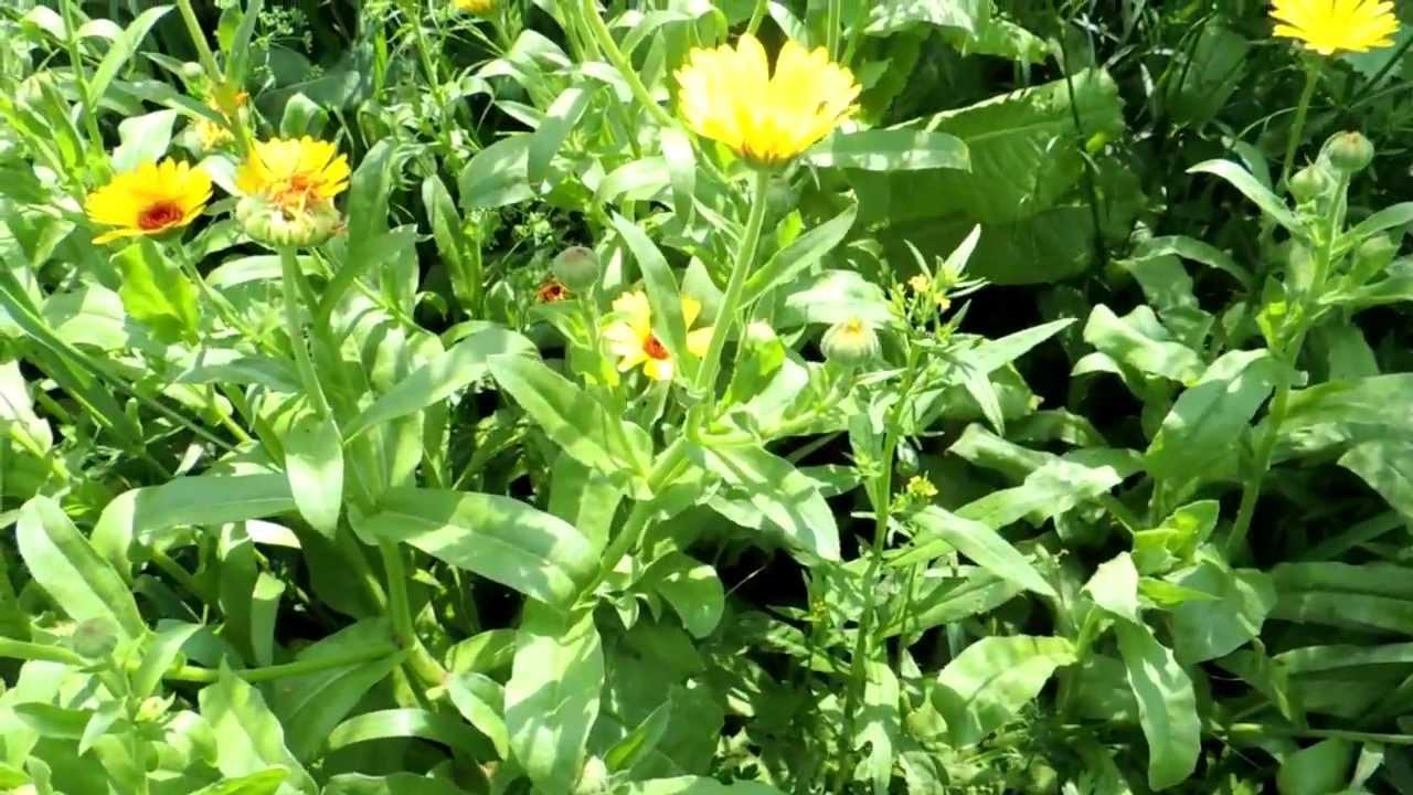 Бодяк полевой, болотный, лист, стебель, цветущие верхушки, растение ( травы)беларуси в сухом виде, чертополох, купить ( бесплатная доставка).