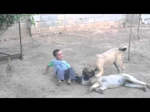 Sivas Kangal'ı ve Çocukların Oynayışları