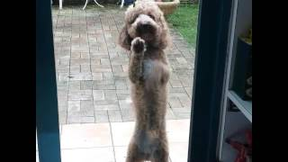 Poodle dancing to Mambo No. 5