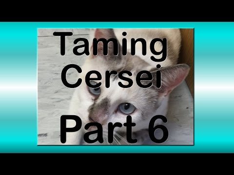 Taming Cersei - Walking a Siamese Cat, Some Cat Fights, Some Success
