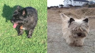 CHERISH THESE CAIRN TERRIER MOMENTS