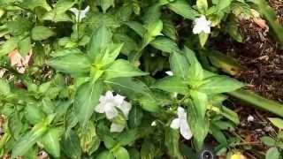 Barleria species...B. Cristata, Repens, Micans, Greenii, and various colors.( Decemberalu)