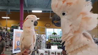 Cockatoos meet each other in pet store, hilarity ensues