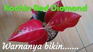 Aglaonema Kochin Red Diamond