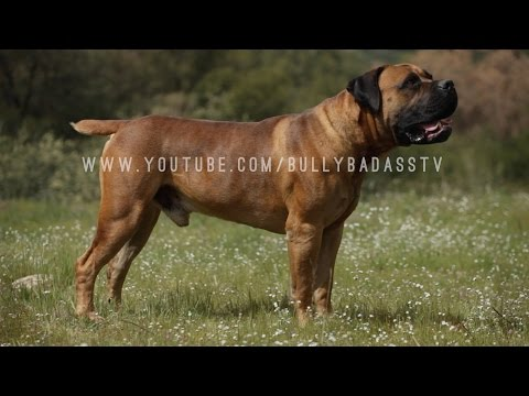 BOERBOEL: A DOG LOVER'S INTRODUCTION