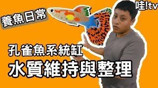 【水族DIY】養魚日常《孔雀魚系統缸水質維持與整理》