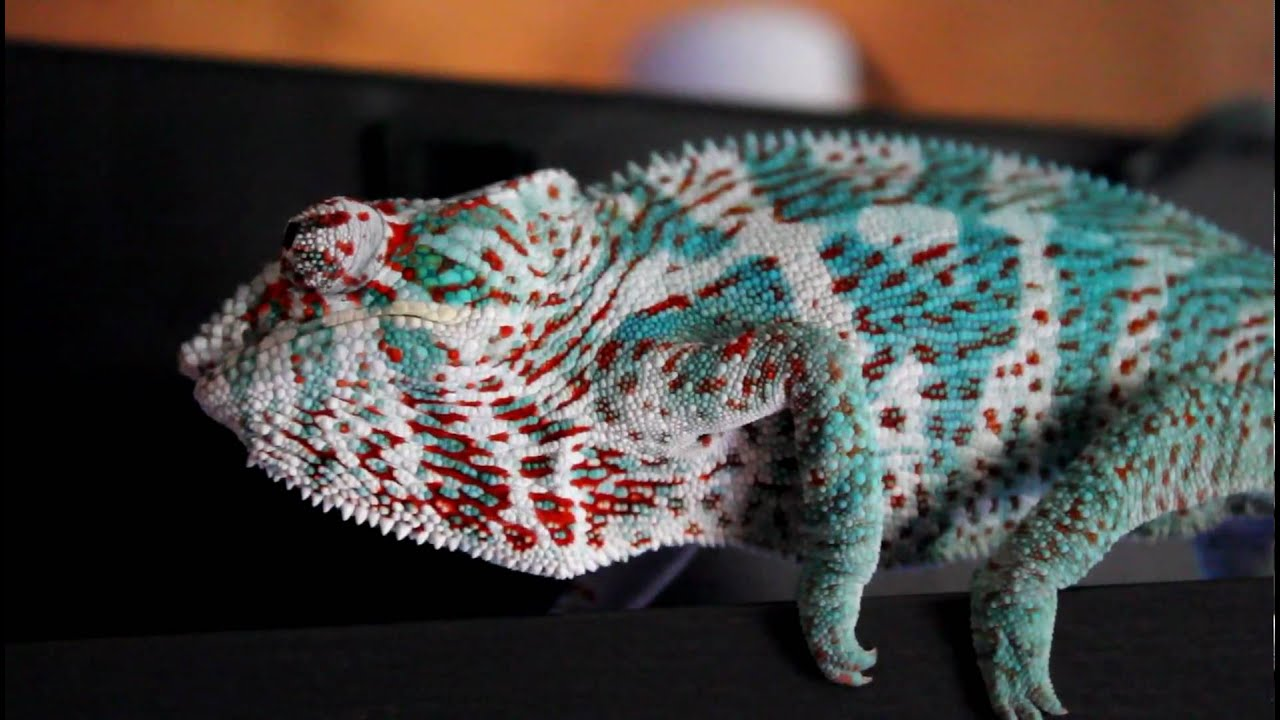 Nosy faly panther chameleon