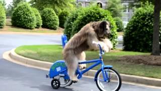 Собака едет на велосипеде