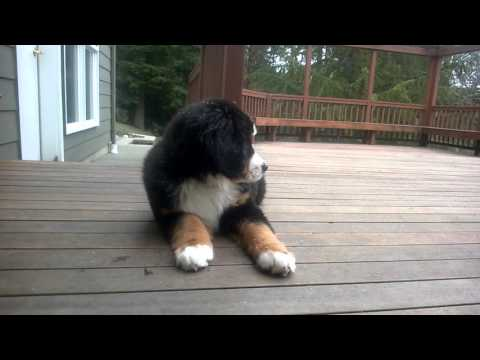 Bernese Mt. Dog Puppy Watching Snowflakes Fall