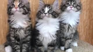 Котята Мейн Кун 2 месяца