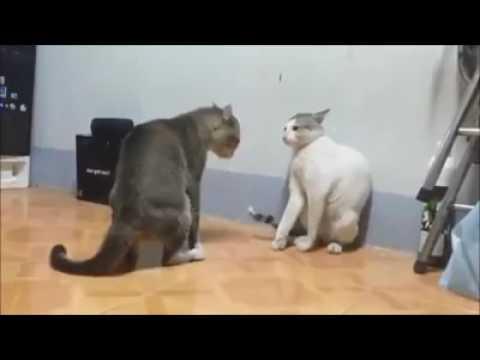 Boa noite briga de gatos