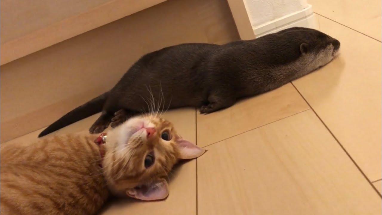 カワウソさくら 溶けるカワウソ子猫 Melting otter and kitten