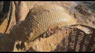 ปลาช่อนทั้งใหญ่ทั้งยักษ์แบบนี้ ต้องจับอย่างนี้แหละ-Fishing giant snakeheadfish in mud