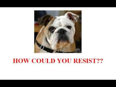 Should I Get a Bulldog?