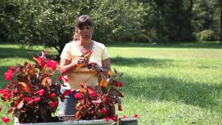 How to Propagate Thick-Stem Begonias : Begonias