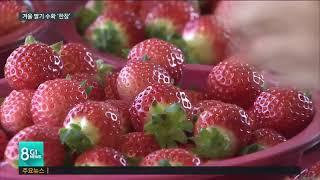 강릉 겨울 딸기 수확 '한창'