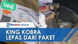 Viral Video King Cobra Dikirim Via Paket dan Hanya Dibungkus Kertas, Lepas dan Buat Heboh Ekspedisi