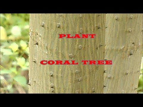 PLANT: INDIAN CORAL TREE / KALYANA MURUNGAI / ERYTHRINA VARIEGATA
