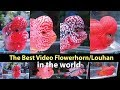 The best flowerhorn in the world - classic, kamfa, bonsai, golden base (cross head, cross face)