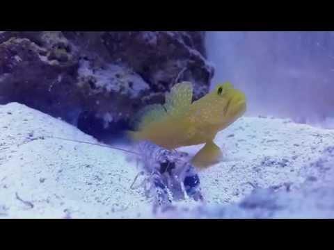 Pistol shrimp kill amphipod for goby at 0:12