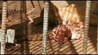 Malnourished lion dies in Sudan park despite online campaign | AFP