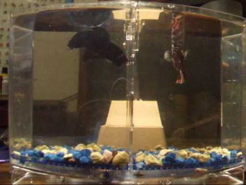 My betta siamese fighting fish tryin to kill eachother for Why do betta fish fight