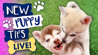 Alaskan Klee Kai Live Cam & New Puppy Tips