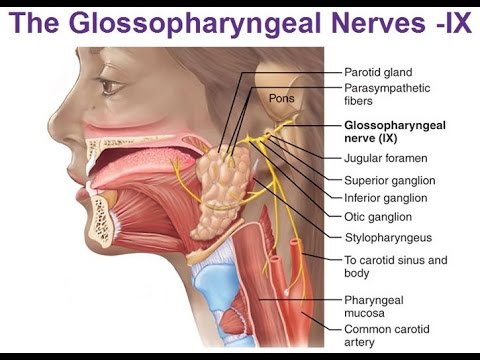 Glossopharyngeal Nerve / 9th cranial Nerve/ Detailed anatomy ...