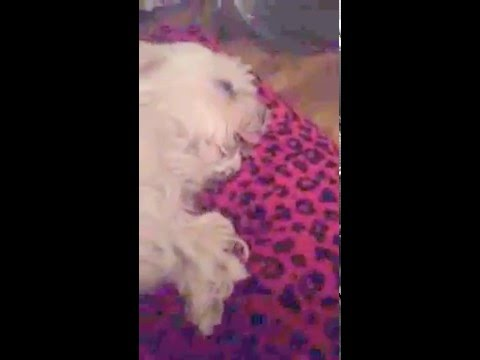 My rescue Bichon and Maltese, ex breeding dogs from Many Tears Rescue
