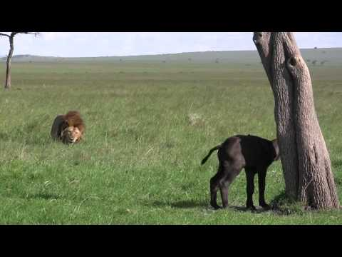 Male Lion Kills Baby Buffalo