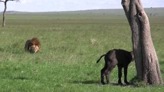 Male Lion Kills Baby Buffalo