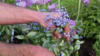 Spring Perennials Series: Bleeding Heart and Brunnera
