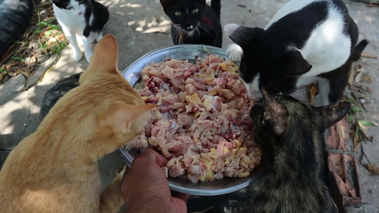 Hungry Cats eating whole chicken | Kitten eat raw chicken | The Gohan Dog And Cats