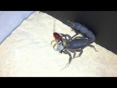 Black Spitting Thicktail Scorpion (Parabuthus Transvaalicus) Vid 4